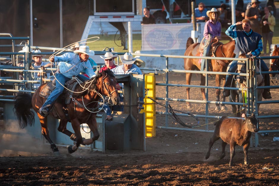 Cowboy at a rodeo chasing down a calf to rope it